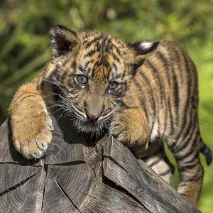 attractions - tiger