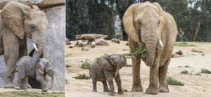 san diego zoo safari park escondido elephant calves