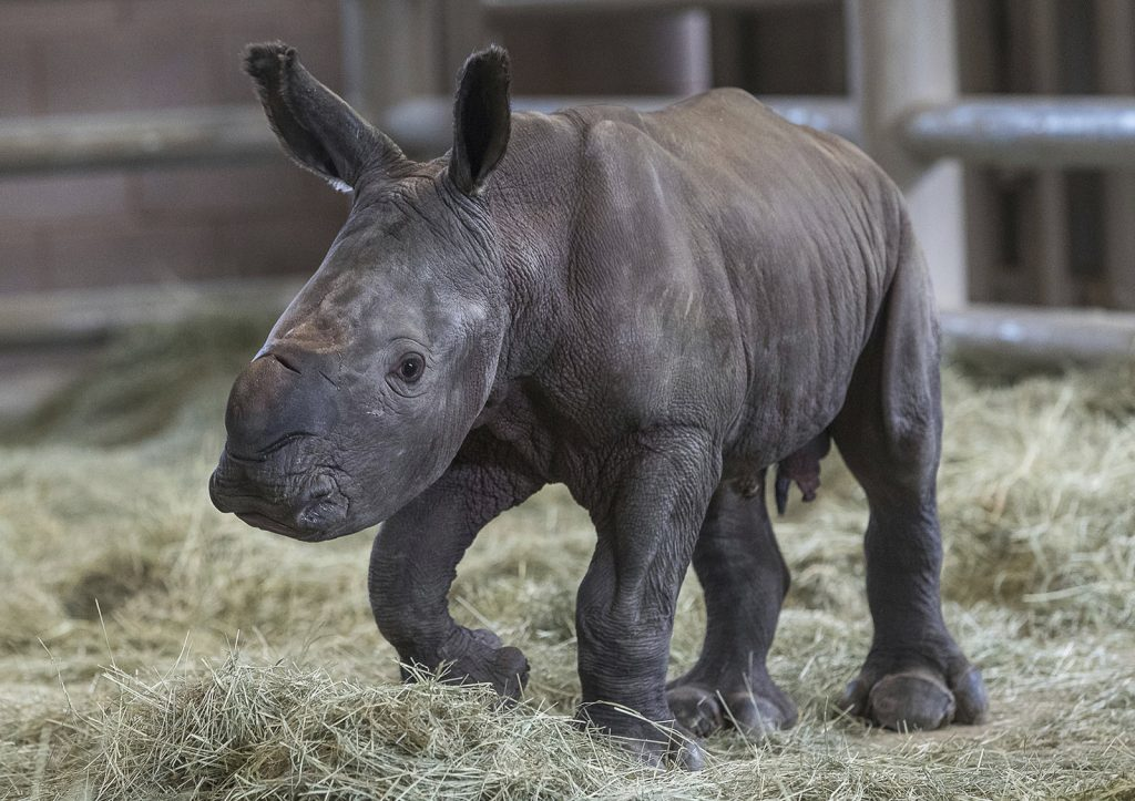 Rhino Calf Escondido