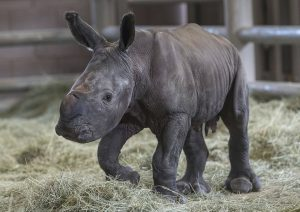 Rhino Calf Escondido
